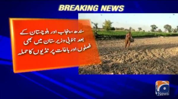 Locusts attack crops and orchards in South Waziristan