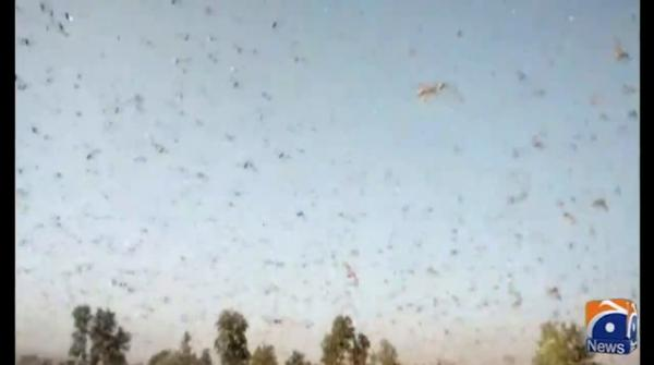 More than 60 districts have been affected by locusts