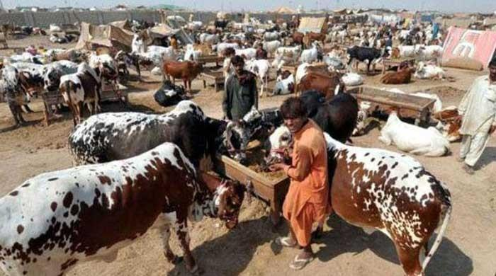 COVID-19: Govt begins talks with ulema to finalise SOPs for Eid-ul-Azha cattle markets