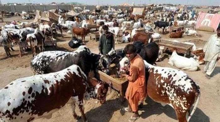 Eid-ul-Azha: SOPs thrown out of the window as people flock to country's largest cattle market