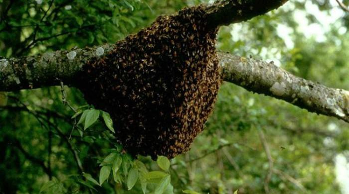 Pakistan's massive plantation drive in Changa Manga boosts honey production