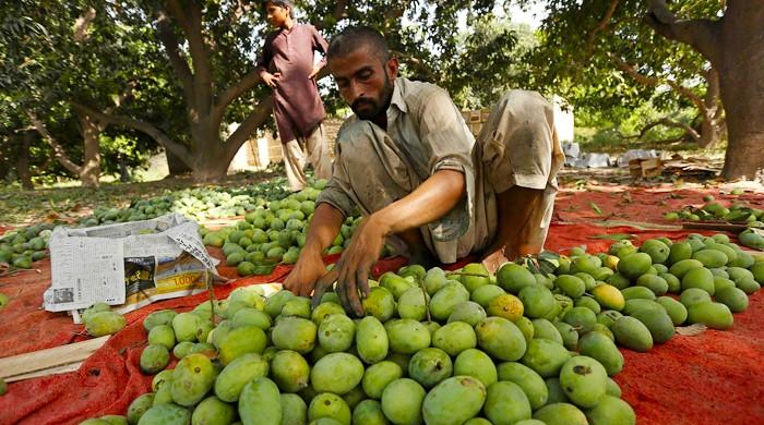 Limited exports hamper Pakistan's beloved mango season, production slahed by half