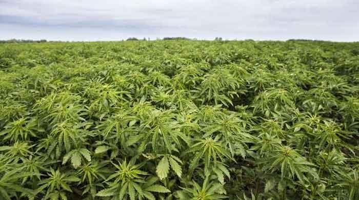 Pakistan approves industrial, medical use of hemp