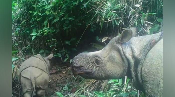 Two extremely rare Javan rhinoceros calves spotted in Indonesian park