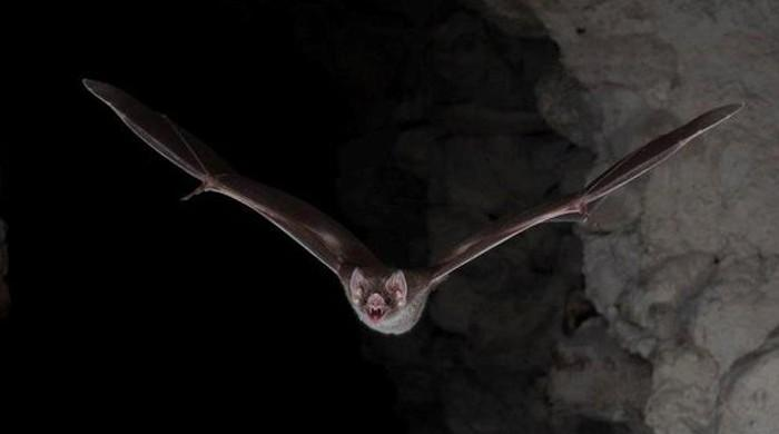 Vampire bats observe social distancing when they are sick: study