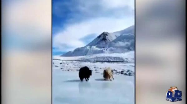 Video of yak slipping on ice in northern areas goes viral