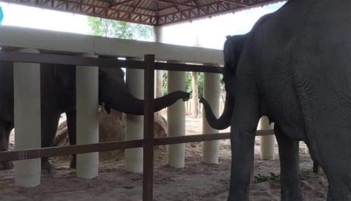 Kaavan finally makes contact with another elephant after eight long years in the Kulen Promtep Wildlife Sanctuary in Preah Vihear Province of Cambodia, December 1, 2020. Twitter/Pheaktra Neth/via Geo.tv