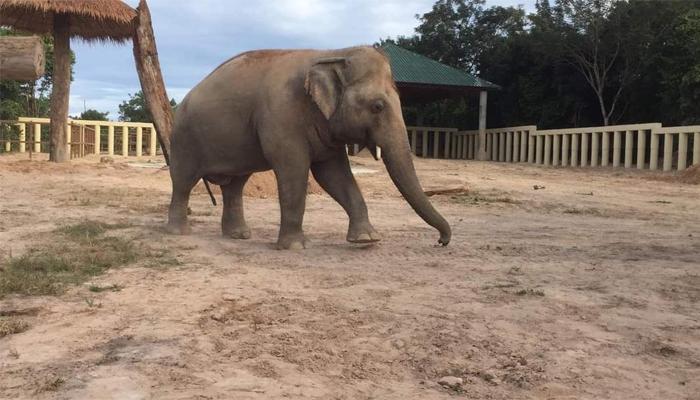 Kaavan runs around playfully in the Kulen Promtep Wildlife Sanctuary in Preah Vihear Province of Cambodia, December 1, 2020. Twitter/Pheaktra Neth/via Geo.tv