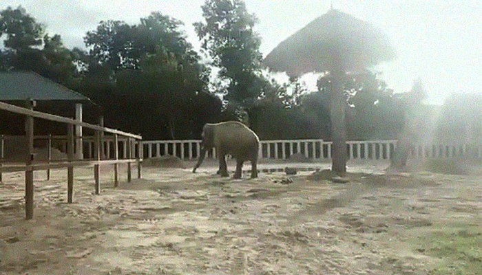 Kaavan explores his new home early morning in the Kulen Promtep Wildlife Sanctuary in Preah Vihear Province of Cambodia, December 1, 2020. Twitter/Pheaktra Neth/via Geo.tv