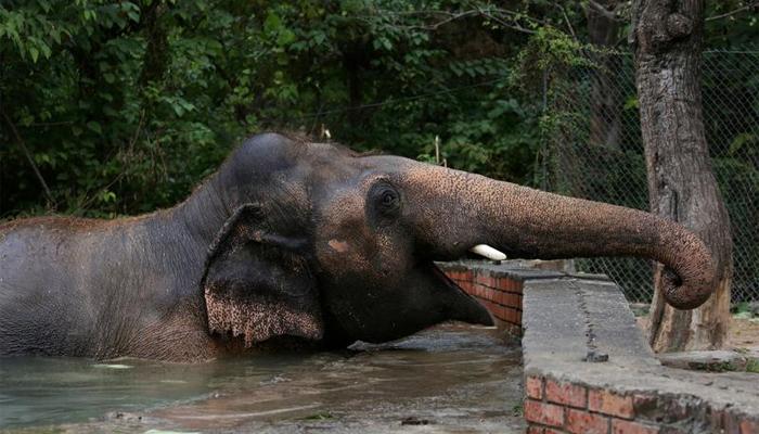 Kaavan enjoys in a pond in Islamabad, Pakistan, November 30, 2020. REUTERS/Saiyna Bashir