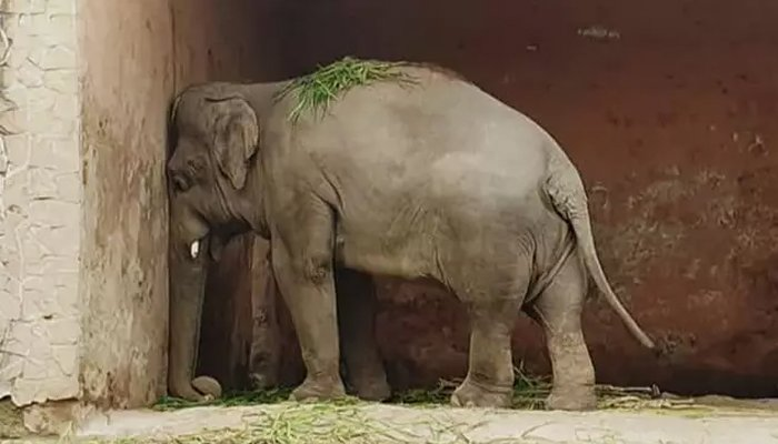 Elephant Kaavan stands facing a wall in his enclosure at the Marghazar Zoo in Islamabad, Pakistan, July 18, 2020. Friends of Islamabad Zoo/Files