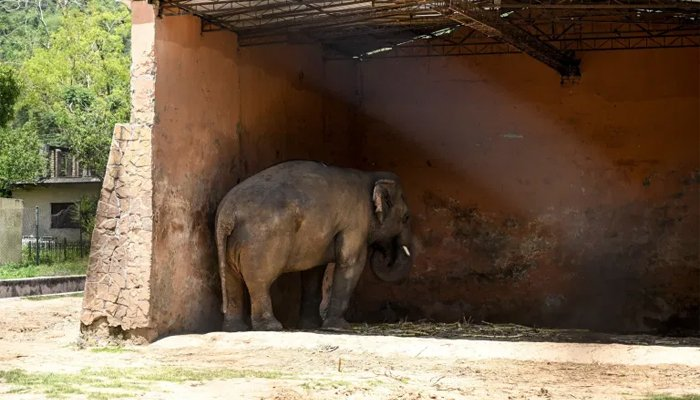 Kaavan stands facing a wall in his enclosure at the Marghazar Zoo in Islamabad, Pakistan, July 18, 2020. AFP/Aamir Qureshi/Files