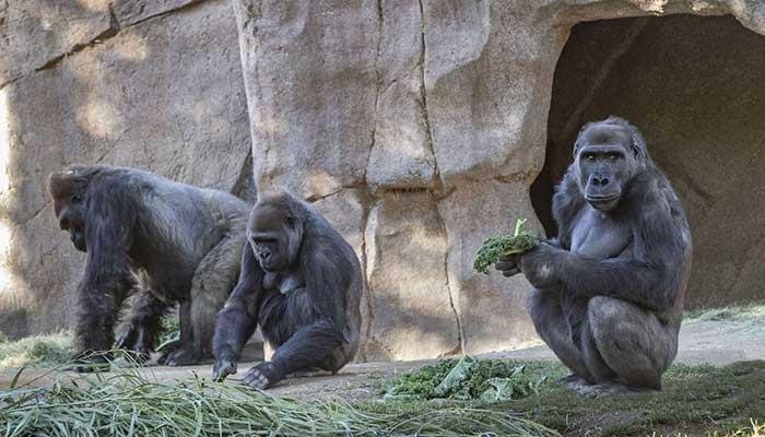 Two Gorillas at San Diego Zoo Test Positive For Coronavirus