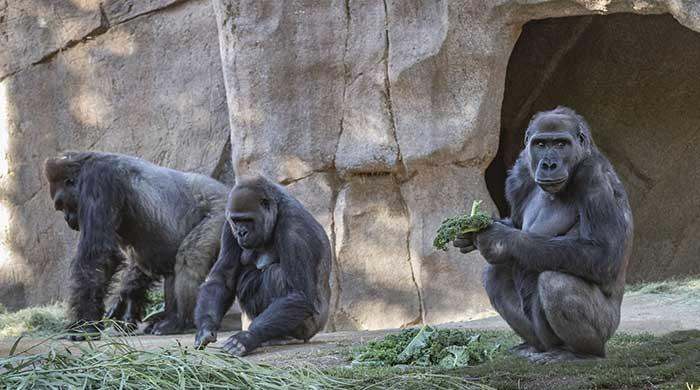 US reports coronavirus cases in two gorillas in San Diego Zoo