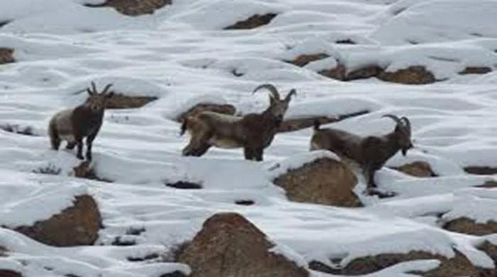 Video: 50 Himalayan ibex spotted in rare sighting in Gilgit-Baltistan's Hunza Valley