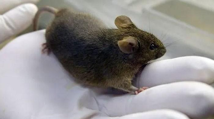 German researchers make paralysed mice walk again