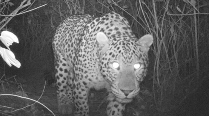 Islamabad: Hidden cameras catch 5 leopards roaming in Margalla Hills