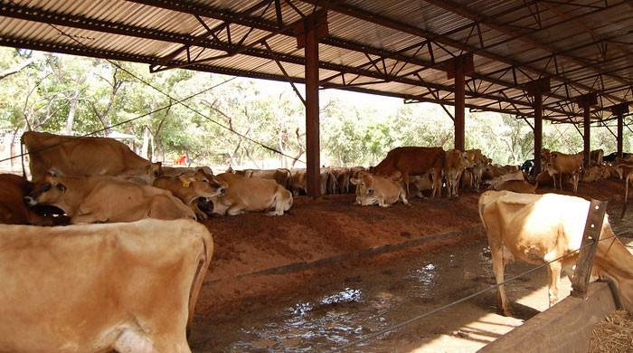 Robbers steal over 100 animals from Karachi cattle farm, FIR lodged
