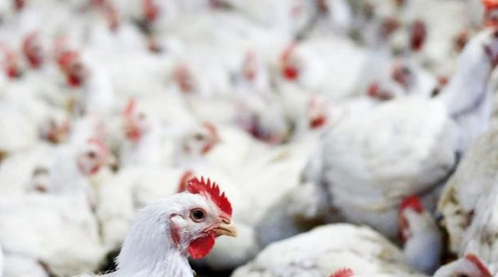 Adenovirus infecting chickens in Lahore