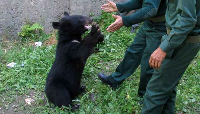 Wildlife watchers, play with one of two Asian black bears, rescued a year ago near the Line of Control (LoC), at the Wildlife and Fisheries department in a Dawarian village in Neelum Valley, Azad Jammu and Kashmir, June 12, 2021. — Reuters/Abu Arqam Naqash
