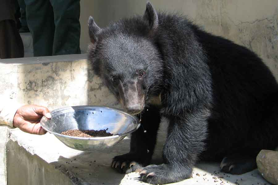A man, feeds one of two Asian black bears, rescued a year ago near the Line of Control (LoC), at the Wildlife and Fisheries department in a Dawarian village in Neelum Valley, Azad Jammu and Kashmir, June 12, 2021. — Reuters/Abu Arqam Naqash