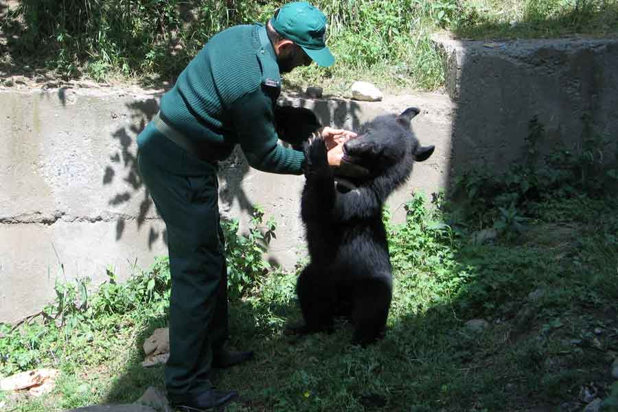 A wildlife watcher takes care of one of two Asian black bears, rescued a year ago near the Line of Control (LoC), at the Wildlife and Fisheries department in a Dawarian village in Neelum Valley, Azad Jammu and Kashmir, June 12, 2021. — Reuters/Abu Arqam Naqash