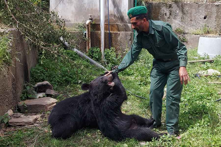 Sher Wali, a wildlife watcher, plays with a pair of Asian black bears, rescued a year ago near the Line of Control (LoC), at the Wildlife and Fisheries department in a Dawarian village in Neelum Valley, Azad Jammu and Kashmir, June 12, 2021. — Reuters/Abu Arqam Naqash