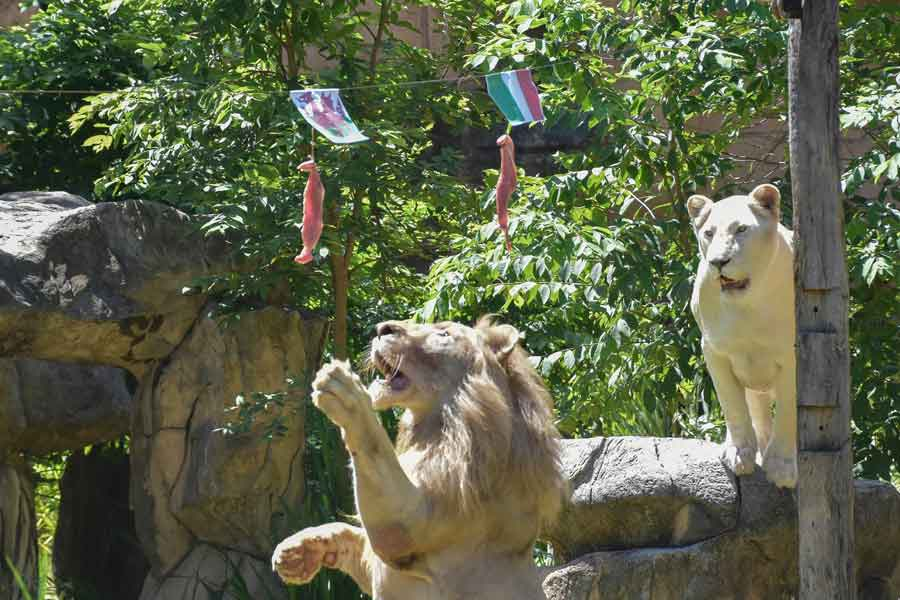 Boy, a five-year-old white lion, lunges at a piece of meat hanging under the flag of Wales, instead of the piece under Italys flag, set up to see the big cat predict the outcome of Euro 2020 matches at Khon Kaen Zoo in Khon Kaen in northeast Thailand on June 18, 2021. — AFP/Kampol Duangchin