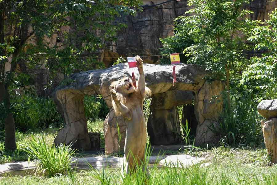 Boy, a five-year-old white lion, lunges at a piece of meat hanging under the flag of Poland, instead of the piece under Spain´s flag, set up to see the big cat predict the outcome of Euro 2020 matches at Khon Kaen Zoo in Khon Kaen in northeast Thailand on June 18, 2021. — AFP/Kampol Duangchin