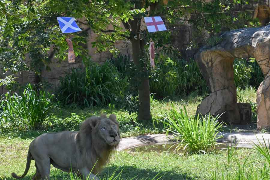 Boy, a five-year-old white lion, looks at pieces of meat hanging under the flags of Scotland (top L) and England, set up to see the big cat predict the outcome of Euro 2020 matches at Khon Kaen Zoo in Khon Kaen in northeast Thailand on June 18, 2021. — AFP/Kampol Duangchin