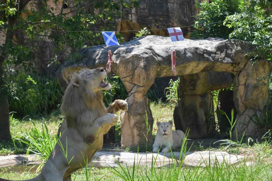 Boy (L), a five-year-old white lion, lunges at a piece of meat hanging under the flag of Scotland, instead of the piece under the England flag, set up to see the big cat predict the outcome of Euro 2020 matches at Khon Kaen Zoo in Khon Kaen in northeast Thailand on June 18, 2021. —AFP/Kampol Duangchin