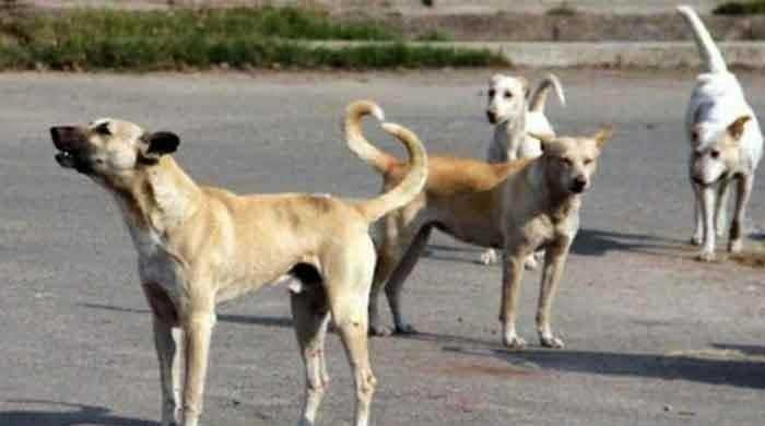 Rawalpindi: More than 400 citizens bitten by stray dogs within a month