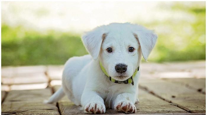 Registration of pet dogs starts in Karachi