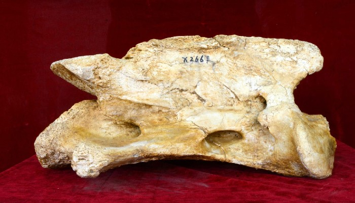 The fossilized skull of the largest land mammal,