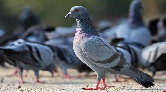 Millionaire pigeons: Property worth crores of rupees named after birds