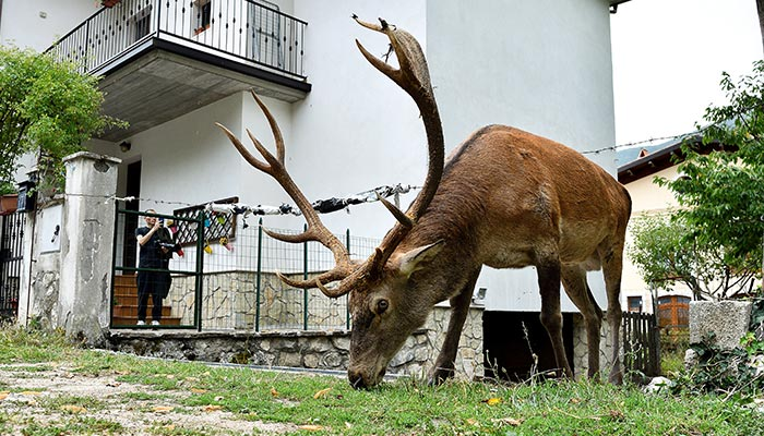 A man takes a photo of a wild stag as it is eating in a private garden of a house in Villetta Barrea, Italy August 25, 2021. — Reuters/File