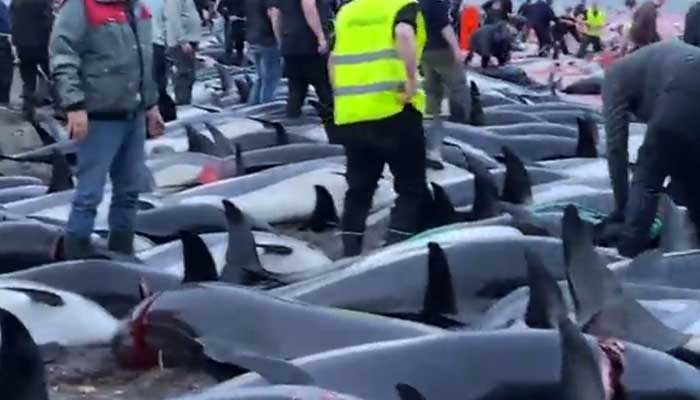 Screengrab from Reuters video shows more than 1,000 Atlantic white-sided dolphins on the beach at Skálabotnur beach in the Danish Faroe Islands.