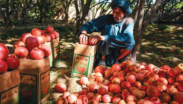 In Kandahar, a medium-sized pomegranate goes for the equivalent of about 15 US cents, but by the time the fruit reach Kabul they cost about three times that. — AFP/File