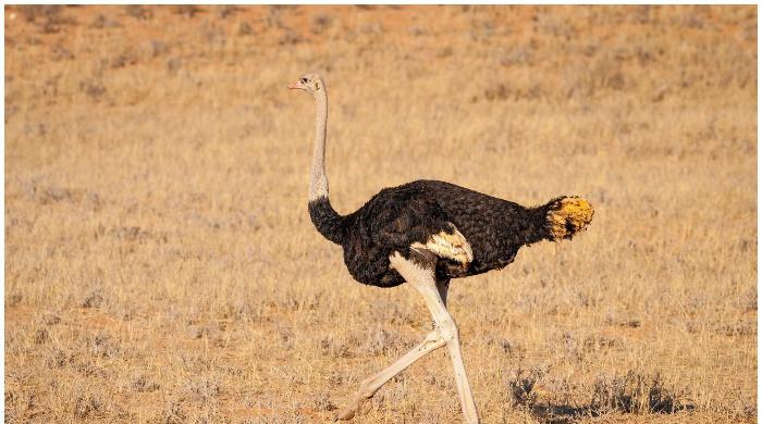 Lahore man chokes ostrich to death in bid to save it from road accident